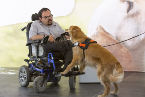 A man using a wheelchair reaches to take a wallet from the mouth of a golden retriever who is wearing a harness